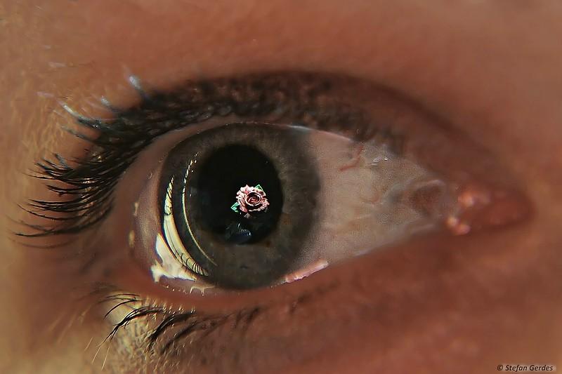 Rose im Auge
